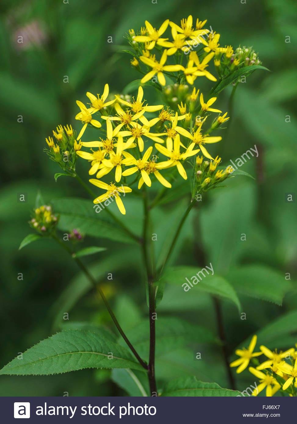Senecio Ovatus (senecio Ovatus, Senecio Fuchsii), Inflorescence.