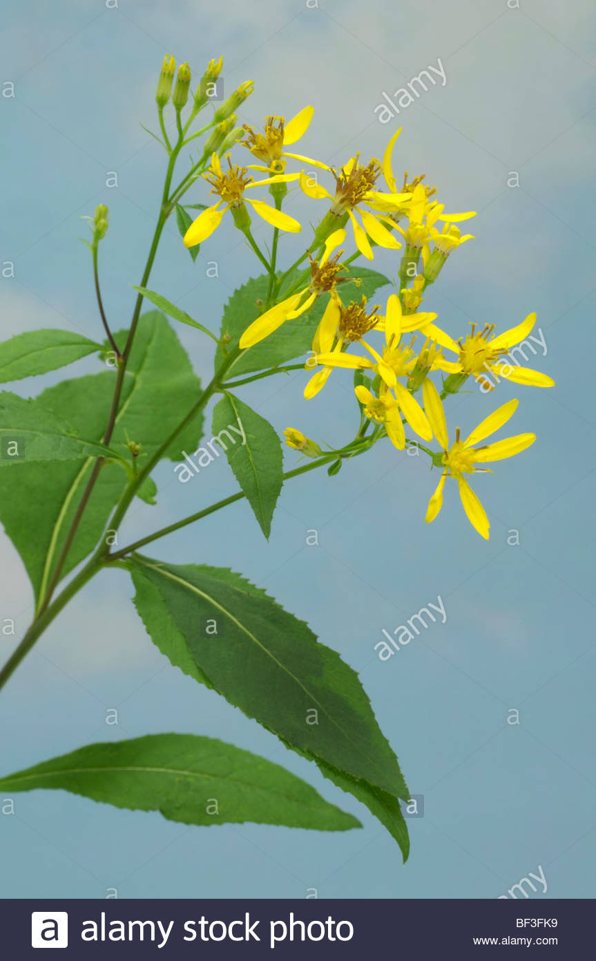 Life Root, Squaw Weed (senecio Ovatus, Senecio Fuchsii), Twig With.