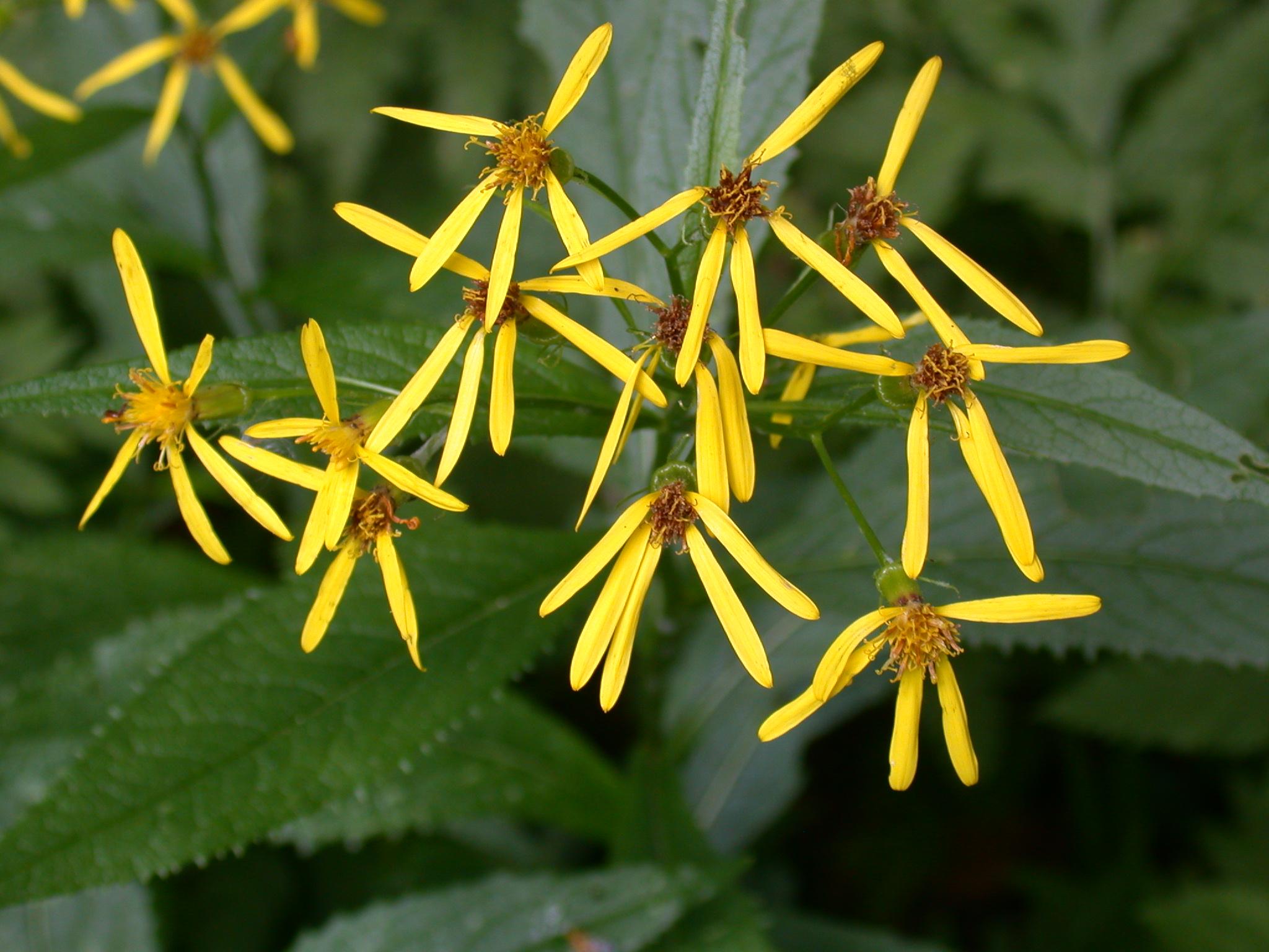 File:Senecio fuchsii flowers.jpg.