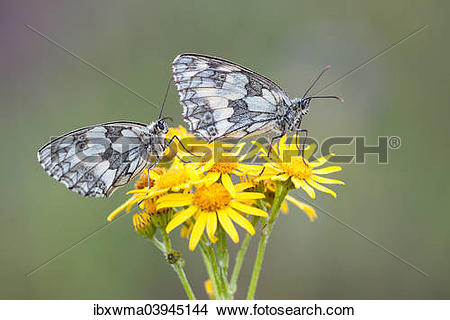 "Stock Photo of ""Two Marbled Whites (Melanargia galathea) on."