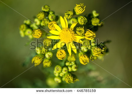 Ragwort Stock Photos, Royalty.