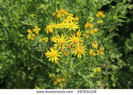 Tansy Ragwort Stock Photos, Royalty.