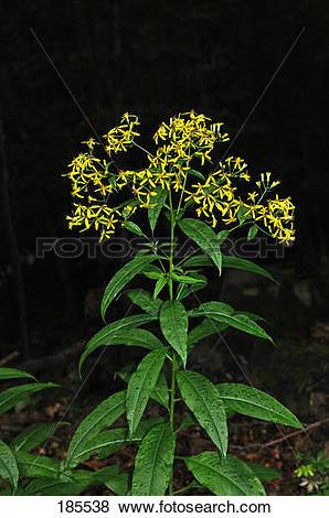 Pictures of Wood Ragwort (Senecio ovatus), flowering plant.