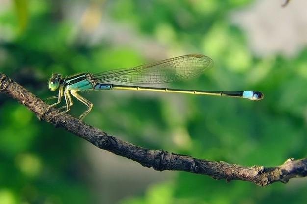 Dragonfly senegal pechlibelle senegalensis ischnura Photo.