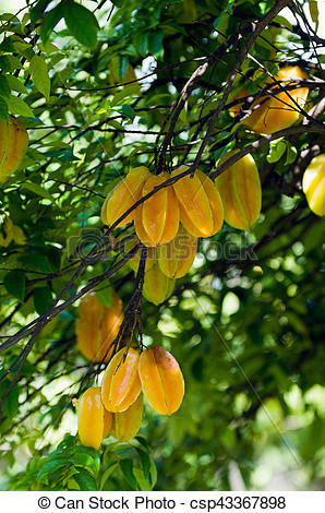 Stock Photographs of Starfruit tree, selective focus csp43367898.