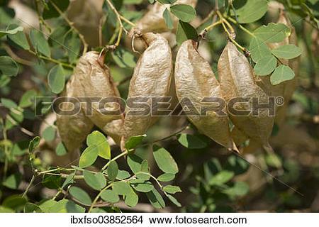 "Stock Photo of ""Bladdersenna or Bladder Senna (Colutea arborescens."