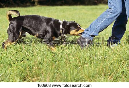 Entlebucher sennenhund clipart.