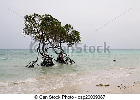 Pictures of Two Sentinel Mangrove Trees Shoreline Andaman sea.