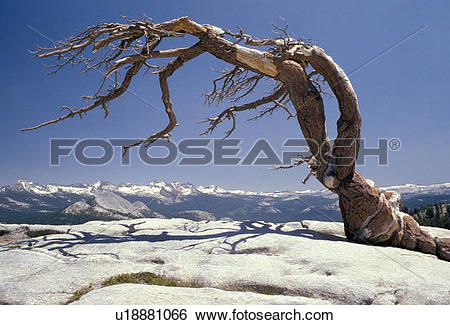 Stock Images of Jeffrey Pine on Sentinel Dome u18881066.