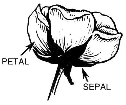 Petal Sepal Label Clip Art Download.
