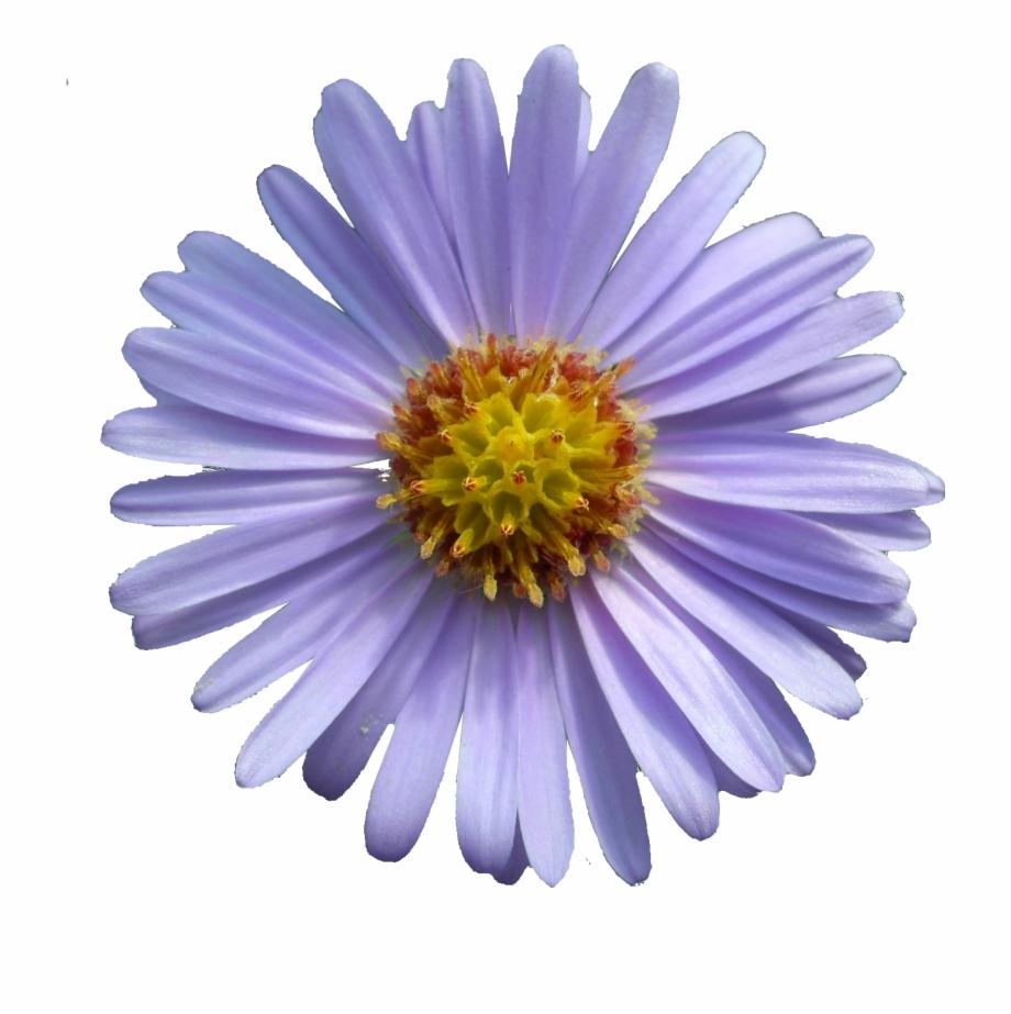 September Flower Aster Png.