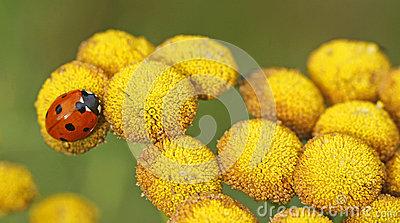 Ladybird Ladybug Coccinella Septempunctata Stock Illustrations.