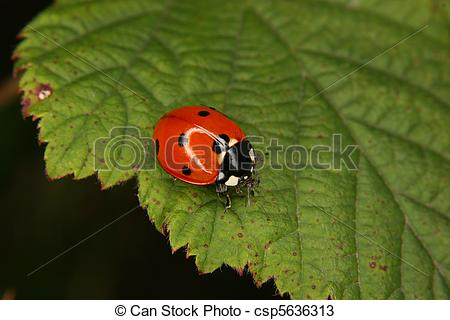 Stock Photos of Ladybird beetle (Coccinella septempunctata) on a.