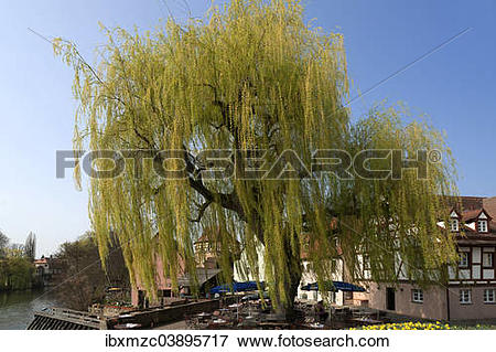 "Picture of ""Large Weeping Willow (Salix x sepulcralis), Lauf an."