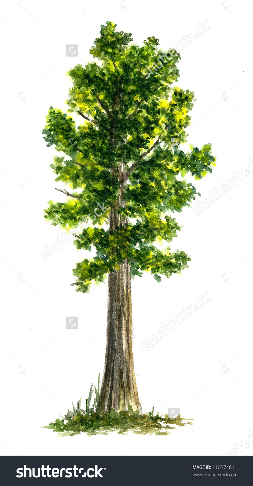 Sequoia Number 2 Stock Illustration 110374811.