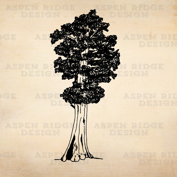 Hand Drawn Sequoia Tree General Sherman Royalty Free Vector.