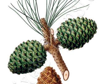 Pine cone clipart.
