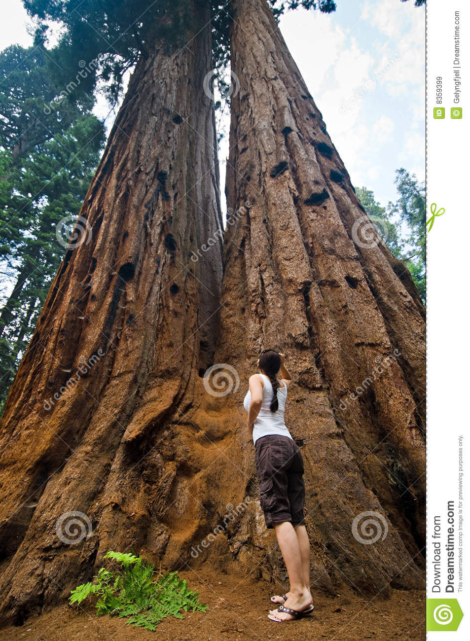 Sequoia National Park Royalty Free Stock Images.