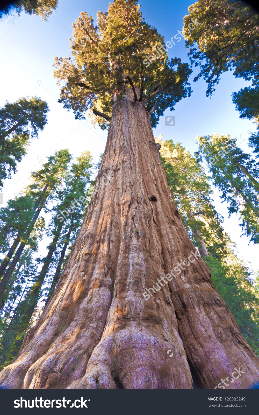 General Sherman Worlds Largest Tree Found Stock Photo 126383249.