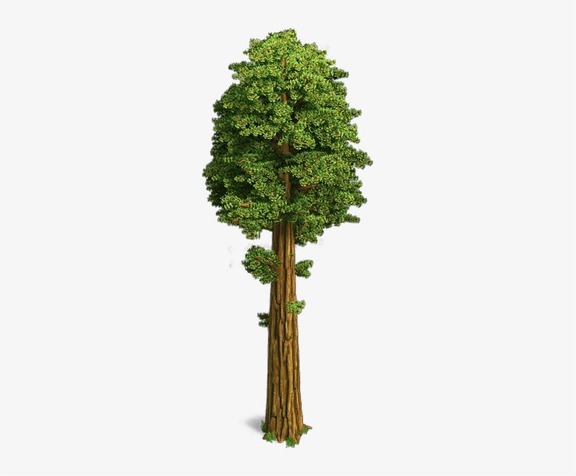 Sequoia Trees.