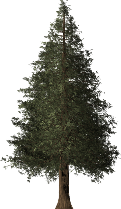 Sequoia png 5 » PNG Image.
