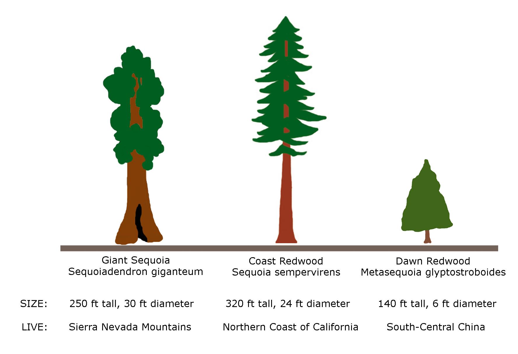 Giant Redwood vs Sequoia Trees.
