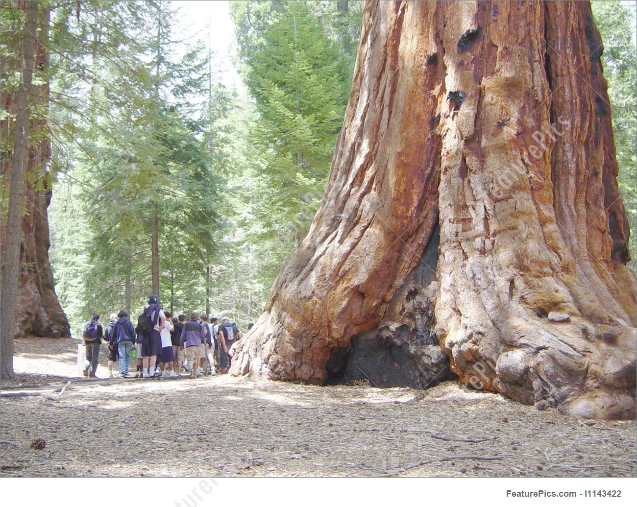 Giant Sequoia Tree Stock Picture I1143422 at FeaturePics.