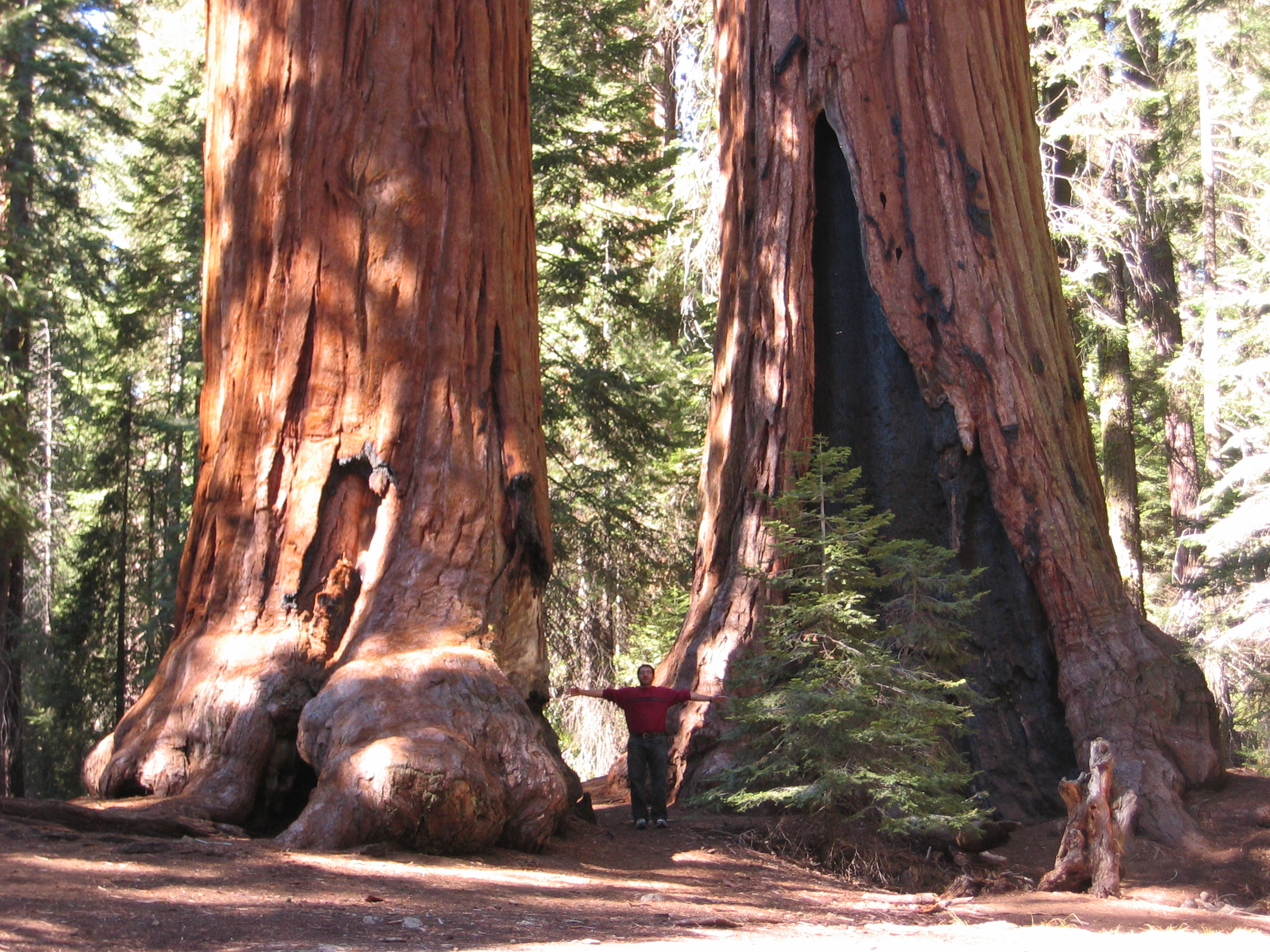 Giant Sequoia Tree at Calaveras Big Trees State Park.
