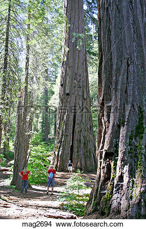 Stock Photo of Released people hiking around giant sequoia trees.