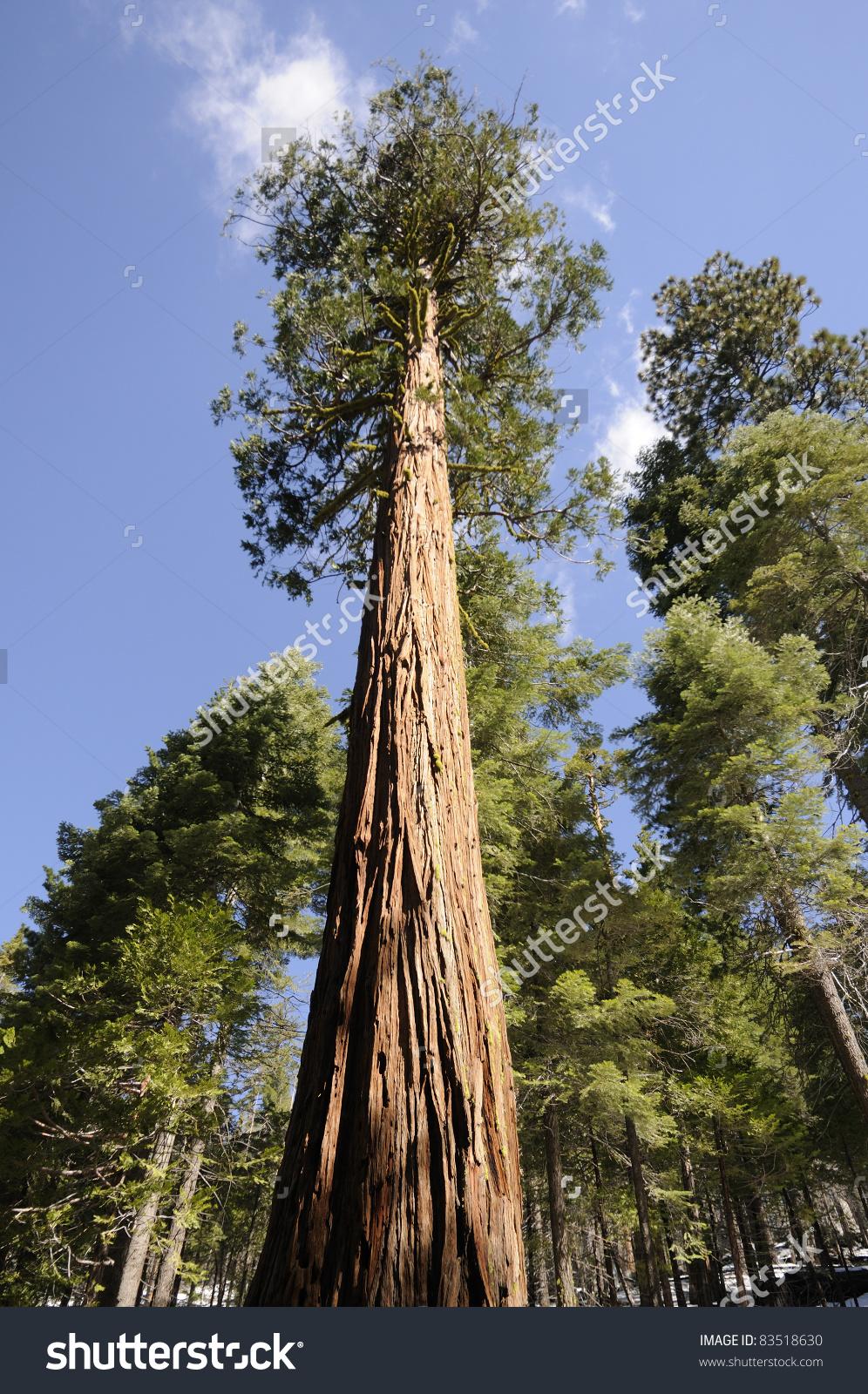 Giant Sequoia Trees California Stock Photo 83518630.