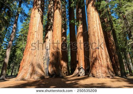 Giant Sequoia Trees Sequoia National Park Stock Photo 250535209.