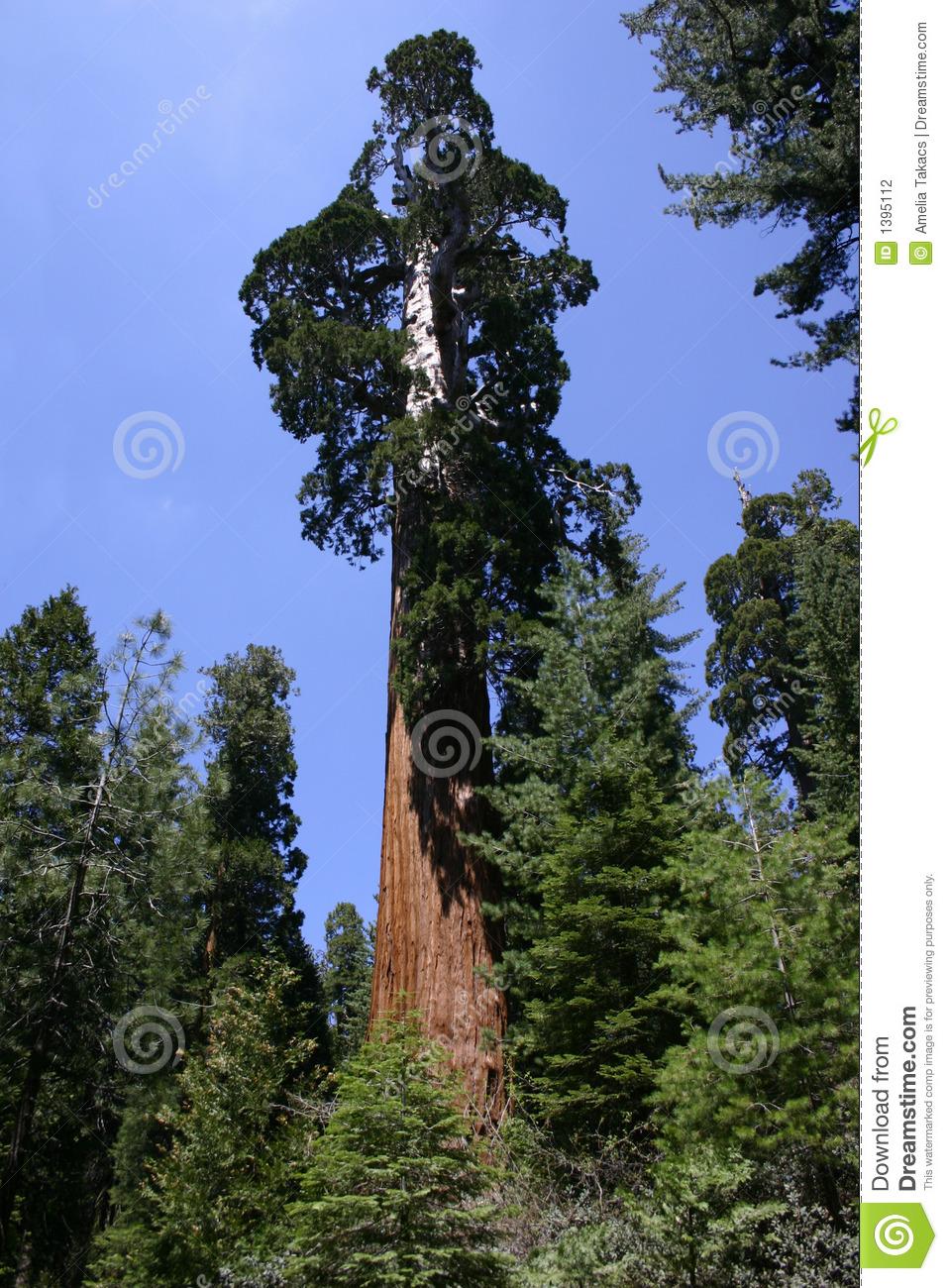 Giant Sequoia Tree Stock Photography.