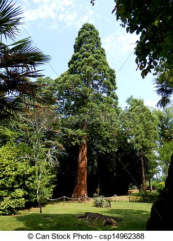 Pictures of Sequoia Tree.