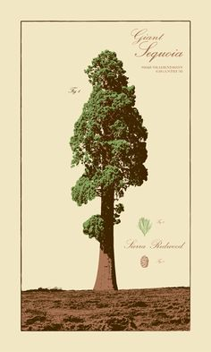 The illustration of Giant sequoia (Sequoiadendron giganteum) tree.