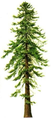 Coast Redwood and Giant Sequoia.