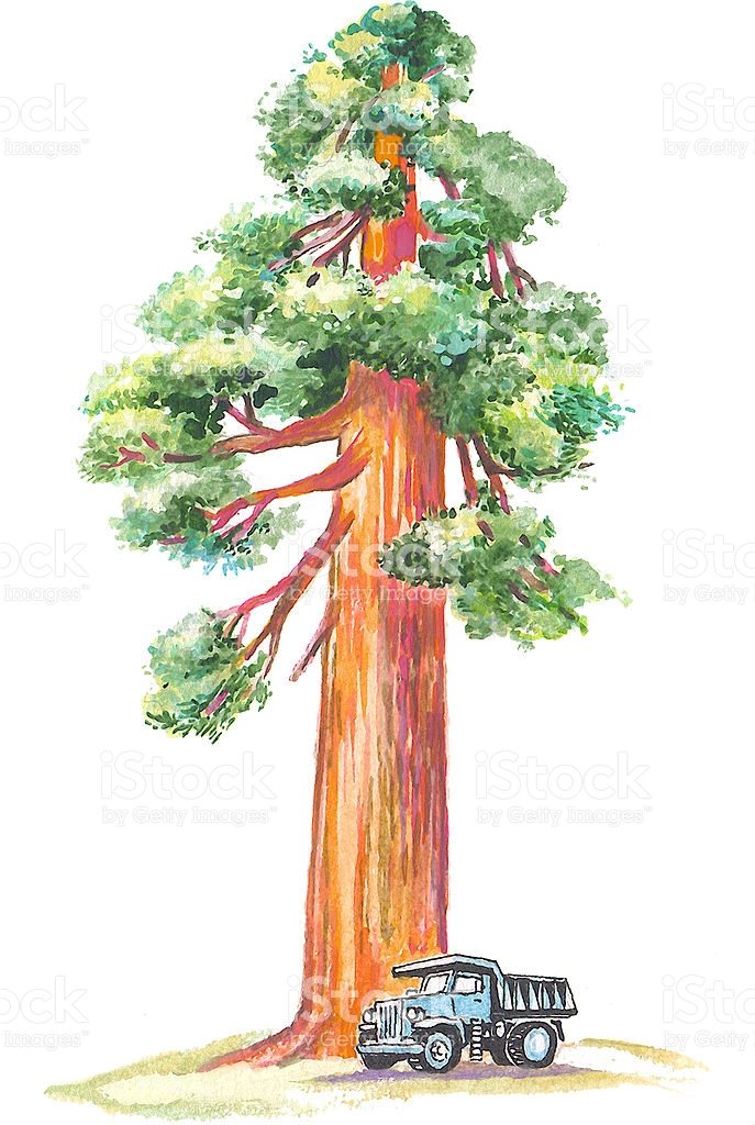Sequoia Tree Clip Art, Vector Images & Illustrations.