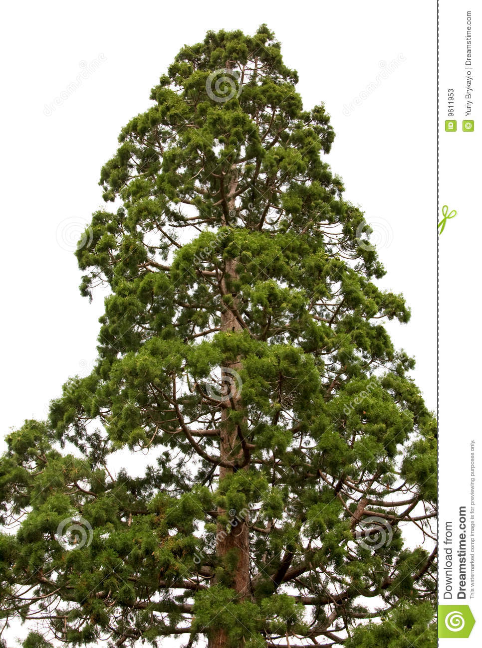 Sequoia Tree Isolated Stock Photos.