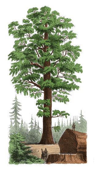 Sequoia clipart.
