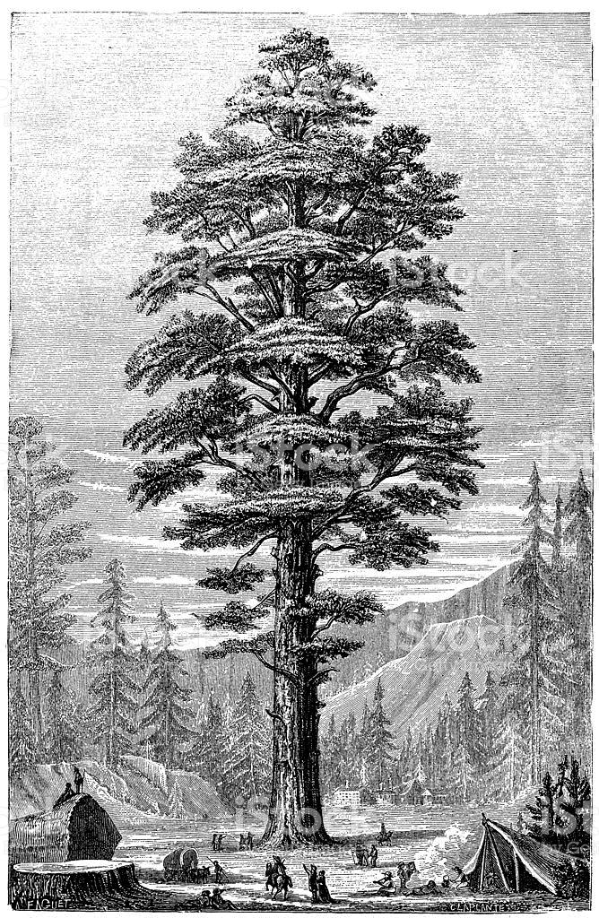 Antique Illustration Of Sequoiadendron Giganteum stock vector art.