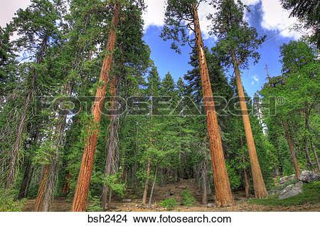 Stock Photo of Giant Sequoias (Sequoiadendron giganteum), Trail of.