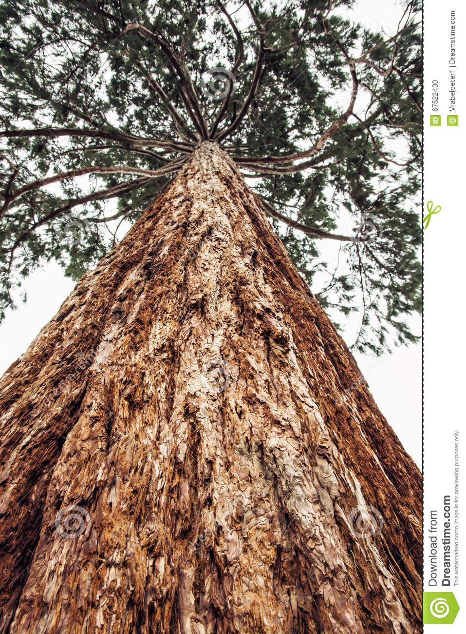 Sequoia Redwoods Tree.