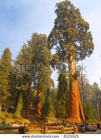 Giant Sequoia Stock Photos, Royalty.