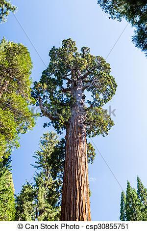 Stock Images of Giant sequoia tree Sequoiadendron giganteum in.