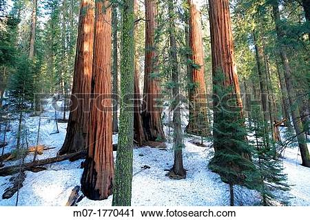 Stock Photography of Giant Forest, Sequoia National Park in Tulare.