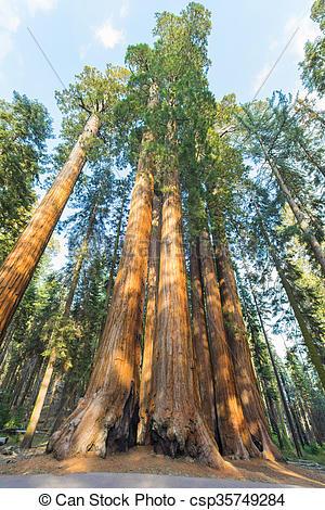 Pictures of Giant Sequoia trees (sequoiadendron giganteum) in.