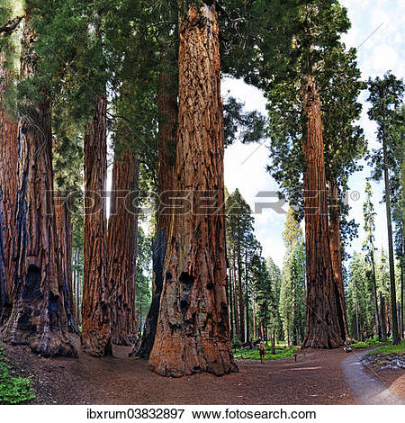 """Picture of """"Giant sequoia (Sequoiadendron giganteum), in front a."""