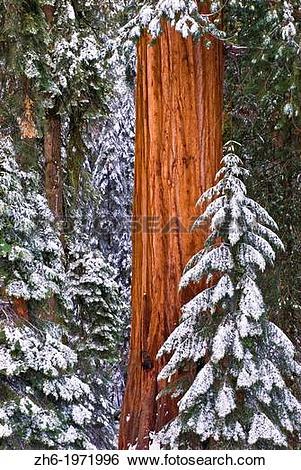 Stock Images of Giant Sequoia (Sequoiadendron giganteum) in winter.