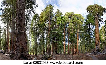 "Stock Photo of ""Giant sequoia trees (Sequoiadendron giganteum) in."