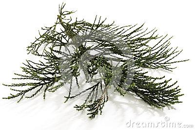 Sequoia Tree Isolated Stock Photos.