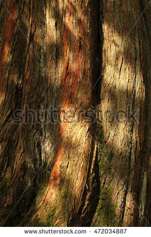 Sequoioideae Stock Photos, Royalty.